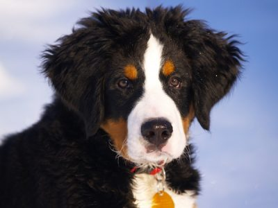 bernese_mountain_dog_puppy_animal_216089