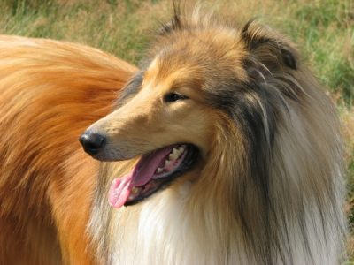 rough_collie_dog_collie_219185